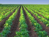 picture of potato-field  - A potato farm in rural Prince Edward Island Canada - JPG