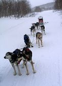 foto of chukotka  - escimo dogs sled dogs running winter forest - JPG