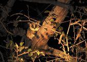 Bushbaby by night