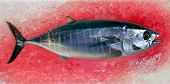 stock photo of yellowfin tuna  - Bluefin tuna Thunnus thynnus saltwater fish bloody ice - JPG