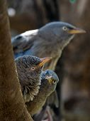 pic of babbler  - Jungle Babbler - JPG