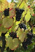 beaujolais grapes ready for fall harvest