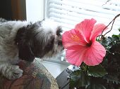 picture of cute dog  - a cute dog smelling an hibiscus in bloom - JPG