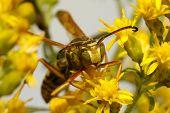 Five-banded Tiphiid Wasp (myzinum Quinquecinctum)