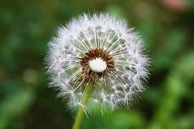 stock photo of dandelion seed  - A close - JPG