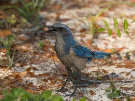 picture of scrubs  - A beautiful Florida Scrub Jay a federally threatened species forages for food on a central Florida scrub area - JPG