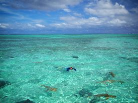 image of stingray  - A tourist in sun protective swimwear photographing during snorkeling with sharks and stingrays in the shallow clear water of the lagoon of Bora Bora a tropical island in the Tahiti archipelago French Polynesia in the Pacific Ocean - JPG