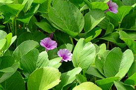 pic of ipomoea  - Beach Morning Glory or Goat - JPG