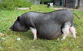 stock photo of pig  - Black and white pregnant pig on free range farm - JPG