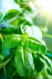 foto of basil leaves  - Basil growing outdoor - JPG