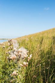picture of spiky plants  - Dutch dike along the water and in the foreground a overblown spear thistle plants on the roadside - JPG