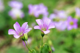 foto of sorrel  - The Pink Wood Sorrel Oxalis Articulata Subsp - JPG