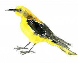 stock photo of crossbill  - watercolor drawing bird - JPG