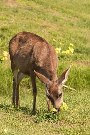 stock photo of blacktail  - a blacktail deer doe in a field along the california coast - JPG