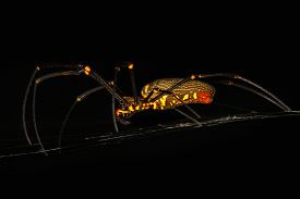 image of black widow spider  - Scary black and yellow spider with long legs from Borneo jungle at night - JPG