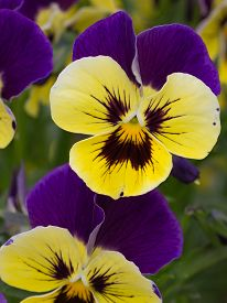 picture of viola  - two-color beautiful flowers bright yellow and purple violas in the summer on a green background in the vertical garden