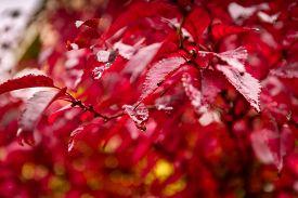 stock photo of marsala  - Red autumn leaves under the rain - JPG