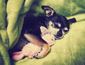 stock photo of stuffed animals  -  a tiny chihuahua cuddling with his pink bunny stuffed animal toy under a green blanket toned with a retro vintage instagram filter app or action effect - JPG