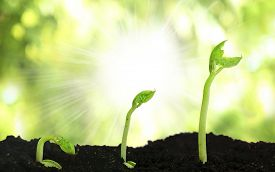 stock photo of germination  - Bean seed germination different stages on nature background - JPG