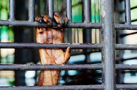 stock photo of orangutan  - Old Orangutan hand in the old grunge cage  - JPG