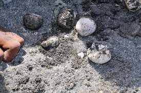 image of human egg  - Hatched turtle eggs by human hand on a black sand beach on the islet of Djeu - JPG