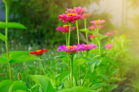 stock photo of zinnias  - Zinnia flowers. closeup of red (purple lilac) Zinnia flowers in full bloom. Zinnia flowers in a garden