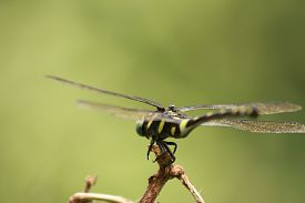 stock photo of terrestrial animal  - The animal (dragonfly) for  show a fly.