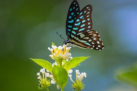 pic of lantana  - Spotted Jay butterfly Graphium arycles on Lantana flower - JPG