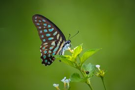 foto of lantana  - Spotted Jay butterfly Graphium arycles on Lantana flower - JPG