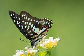 image of lantana  - Common Jay butterfly Graphium arycles on Lantana flower - JPG