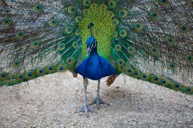 stock photo of fairy tail  - Peacock spreads its tail feathers - JPG