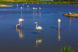 stock photo of pink flamingos  -  Flock of pink flamingos in the shallow duct  Rhone delta - JPG