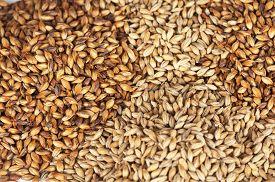 pic of malt  - Close photo up of malt grains - JPG