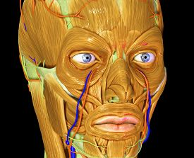 pic of muscle  - The facial muscles are a group of striated skeletal muscles innervated by the facial nerve that - JPG