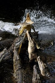 stock photo of crocodile  - Group crocodile in river - JPG