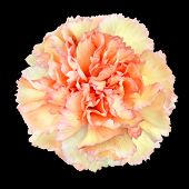 Pink Yellow Carnation Flower Isolated On Black