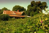 stock photo of kudzu  - Crumbling house swallowed by kudzu near sunset - JPG