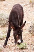 stock photo of burro  - Wild Burro Donkey Foal Grazing in Nevada Desert - JPG