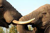 Elephants Hello