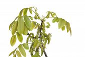 Walnut Blossom