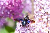 Bbig European Carpenter Bee (xylocopa Violacea) On Lilac