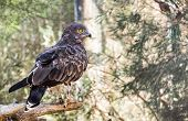 Short-toed Snake Eagle (circaetus Gallicus), Also Known As Short-toed Eagle poster