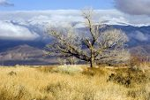 Eastern Sierra Tree In Winter