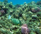 Blue-spine Unicorn Fish