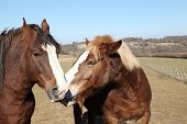 foto of horse head  - Two horses stand head to head gently nuzzling each other with their noses in a sign of friendship and affection - JPG