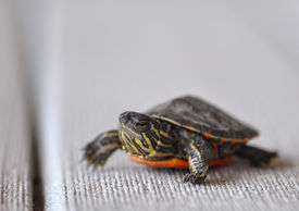 picture of the hare tortoise  - Hatchling of midland painted turtle (Chrysemys bellii marginata) ** Note: Shallow depth of field - JPG