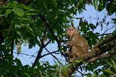 Japanese Macaque Sitting On A Tree