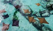 Brown And Black Sting Rays Swimming Slowly In The Shallow Warm Water Of The Bahamas. poster