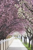 Tress In Blossom Covering Sidewalk