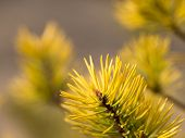 Sprig Of Pine And Pine Cone In The Rays Of The Warm Morning Sun poster
